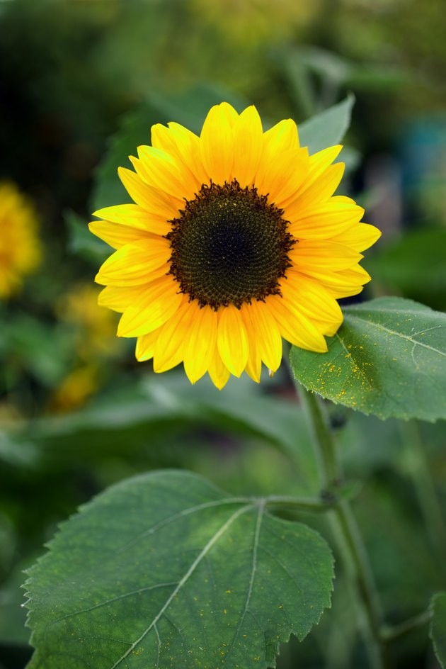 What To Do With Sunflower Stalks